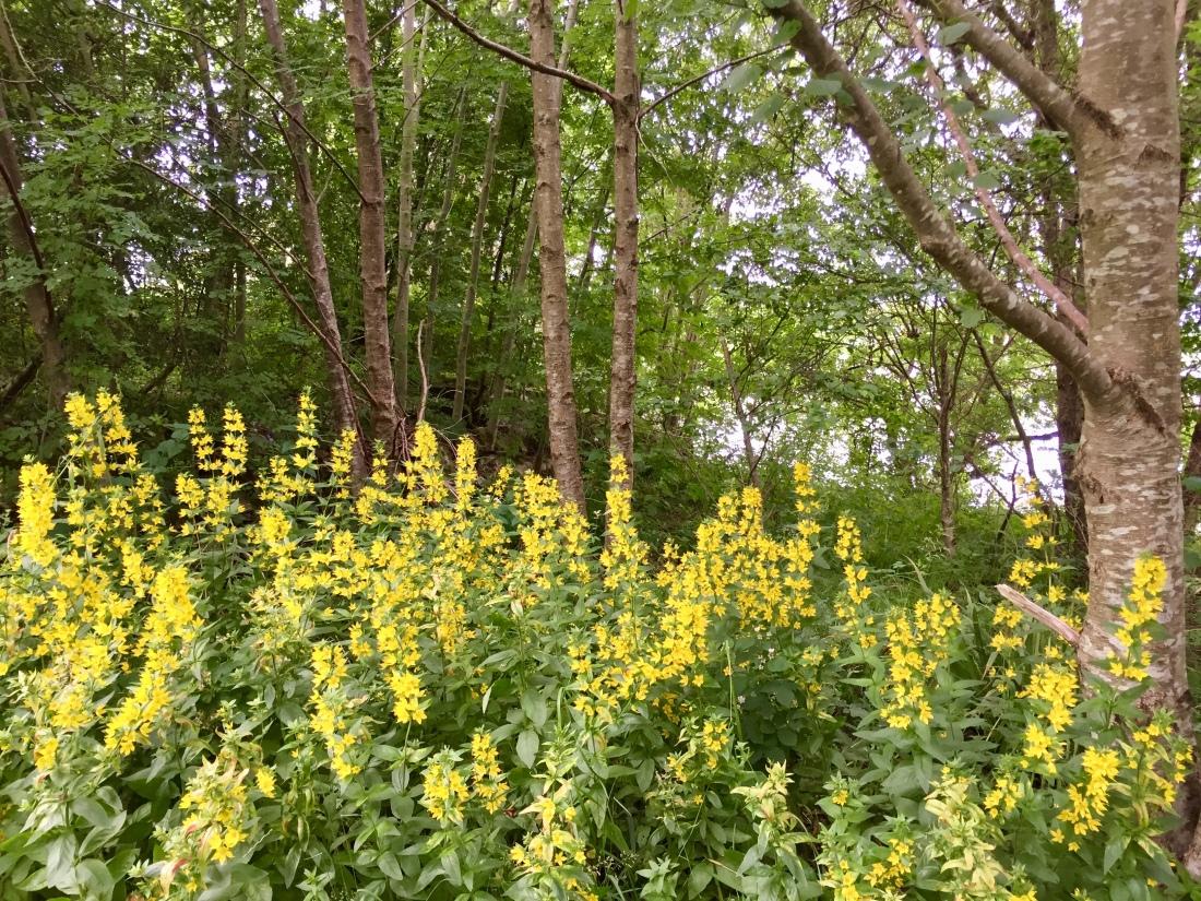 Wild flowers on the Great Glen Way, Fort William