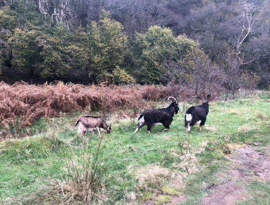 Feral goats on the West Highland Way, end of Loch Lomond