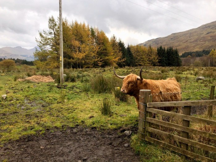 Highland cow on West Highland Way