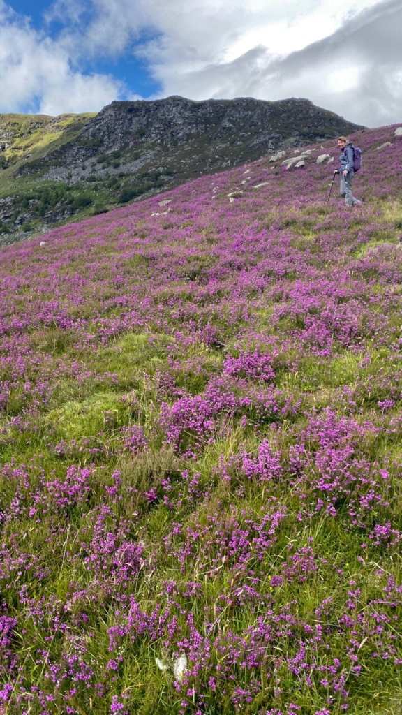 Beautiful Scottish heather